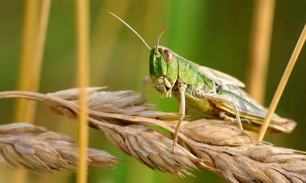 Science isn't enough to prevent disaster: the case of the desert locust plague in East Africa