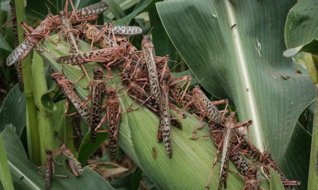 New breeding swarms of desert locusts pose major threat to food security in Horn of Africa and Yemen